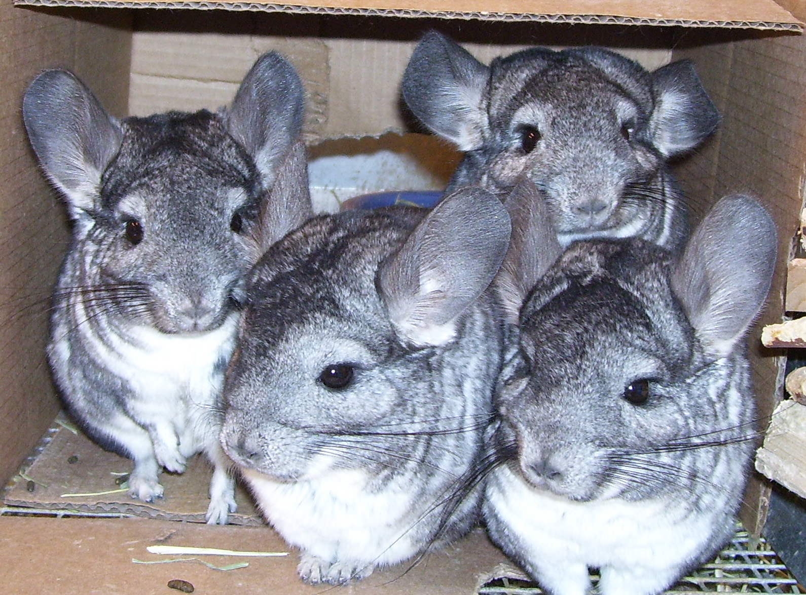 Image result for chinchilla bedding