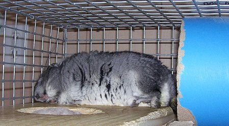 Chinchilla Rescue Forever Fiesty Chinchilla Rescue Emotional Health Sleeping Pattern